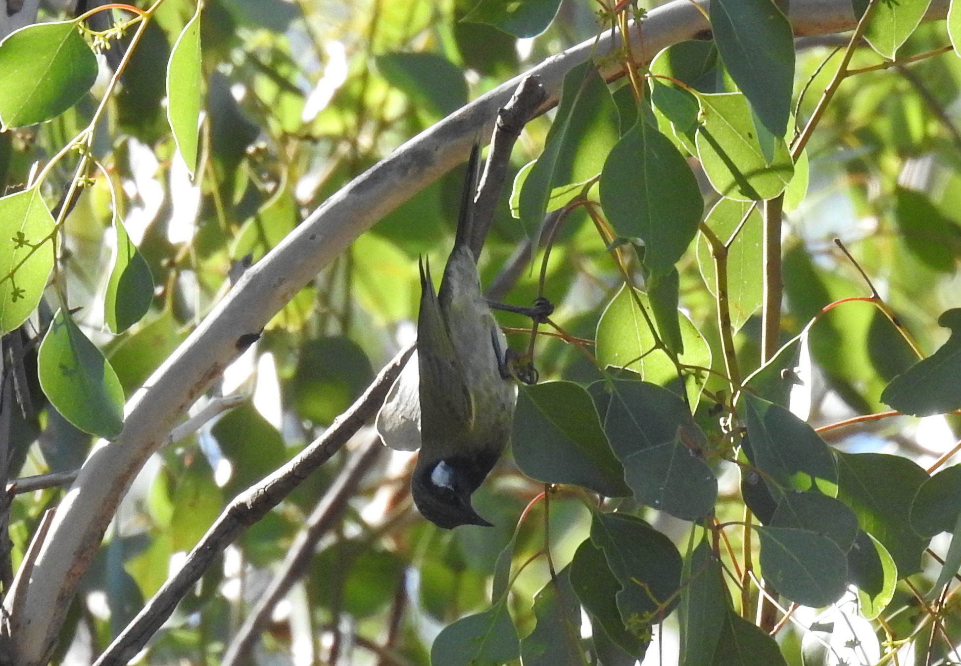 White-eared-honeyeater-Pillaga