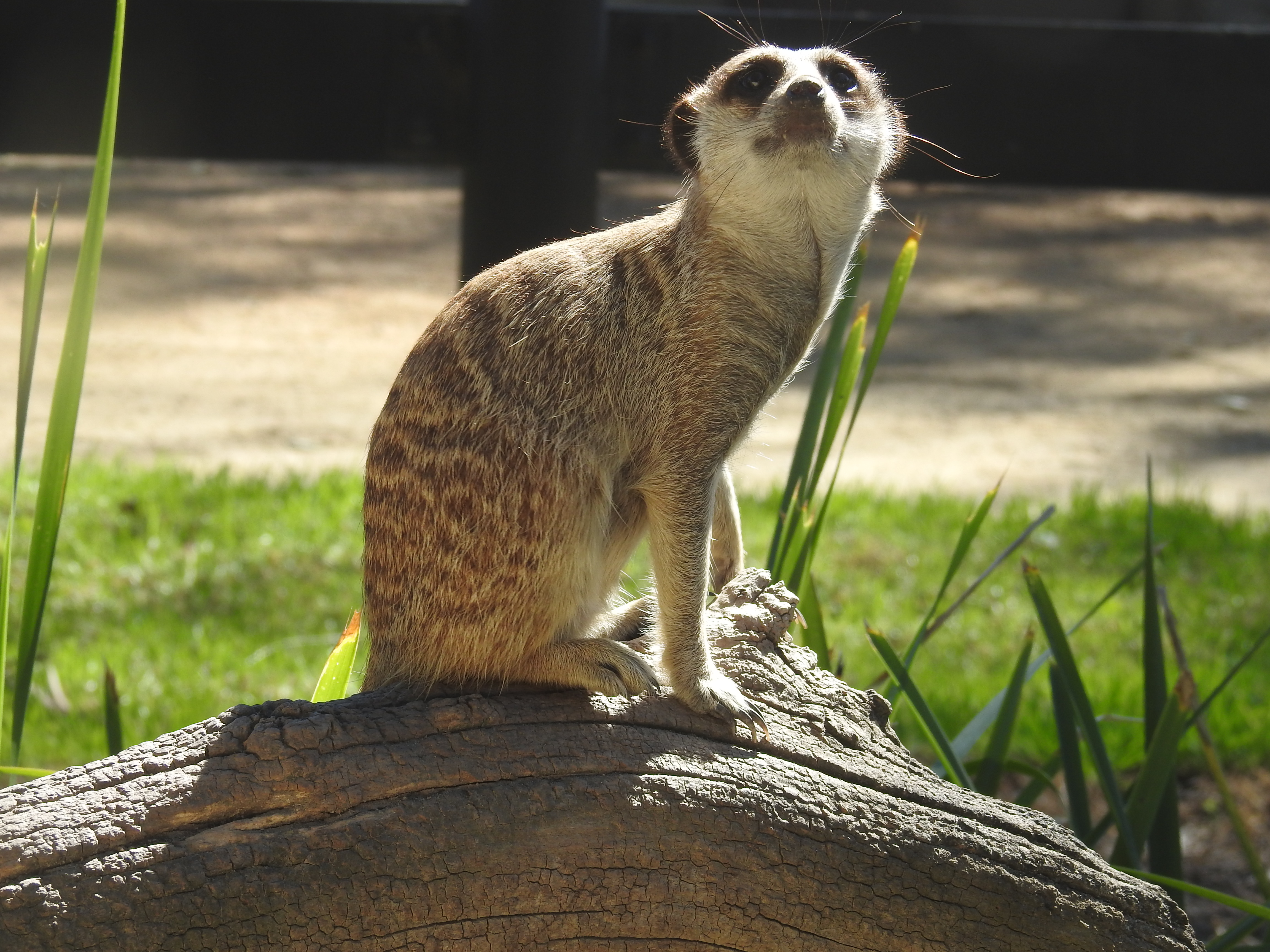 Meerkat - possibly Axel's favourite