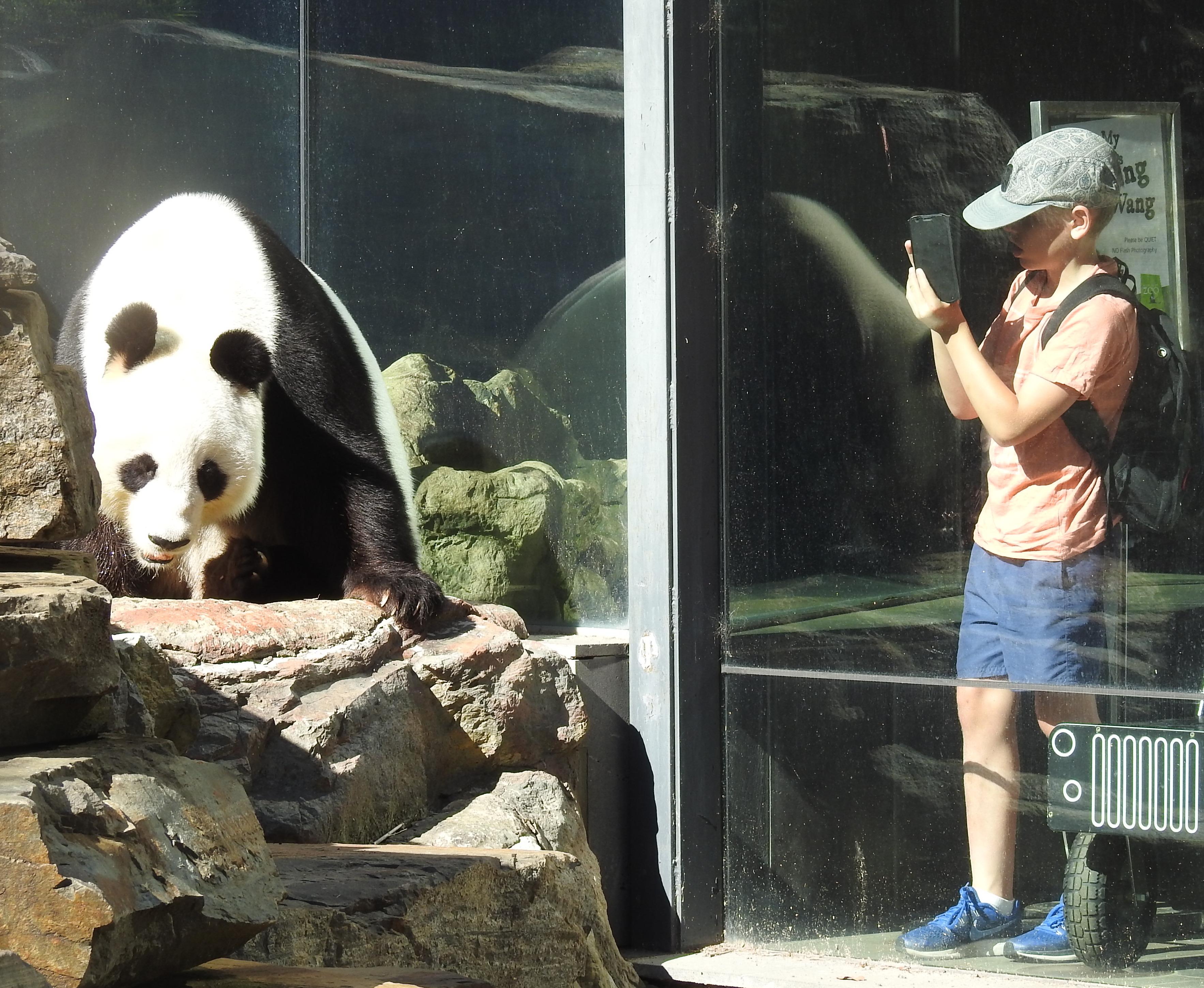 Panda-Adelaide-Zoo