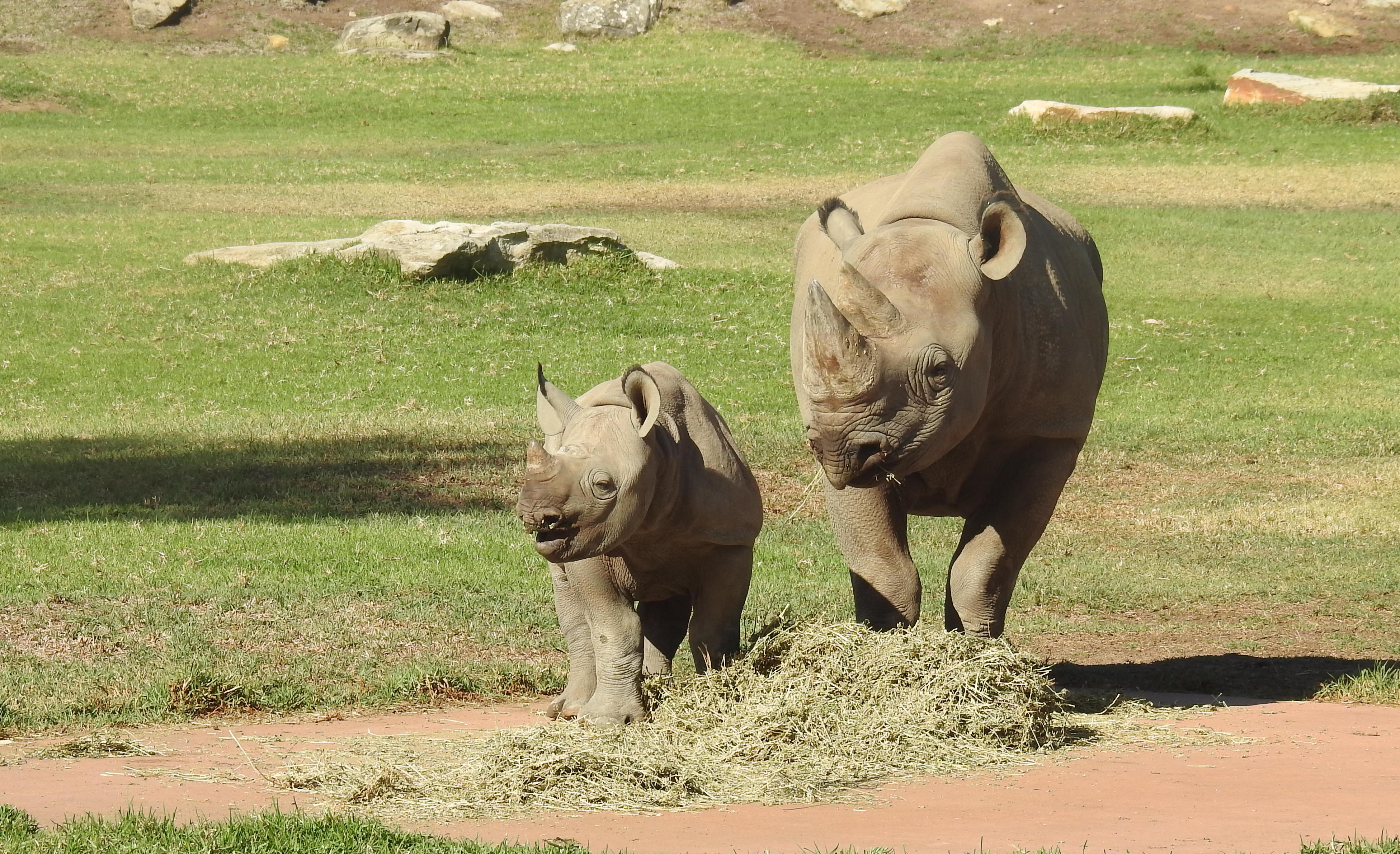 White rhino and youngster. Some are suggesting wearing more rhinos to Australia's outback (contained of course, but in enormous enclosures) to protect them from poaching inter hime countries.