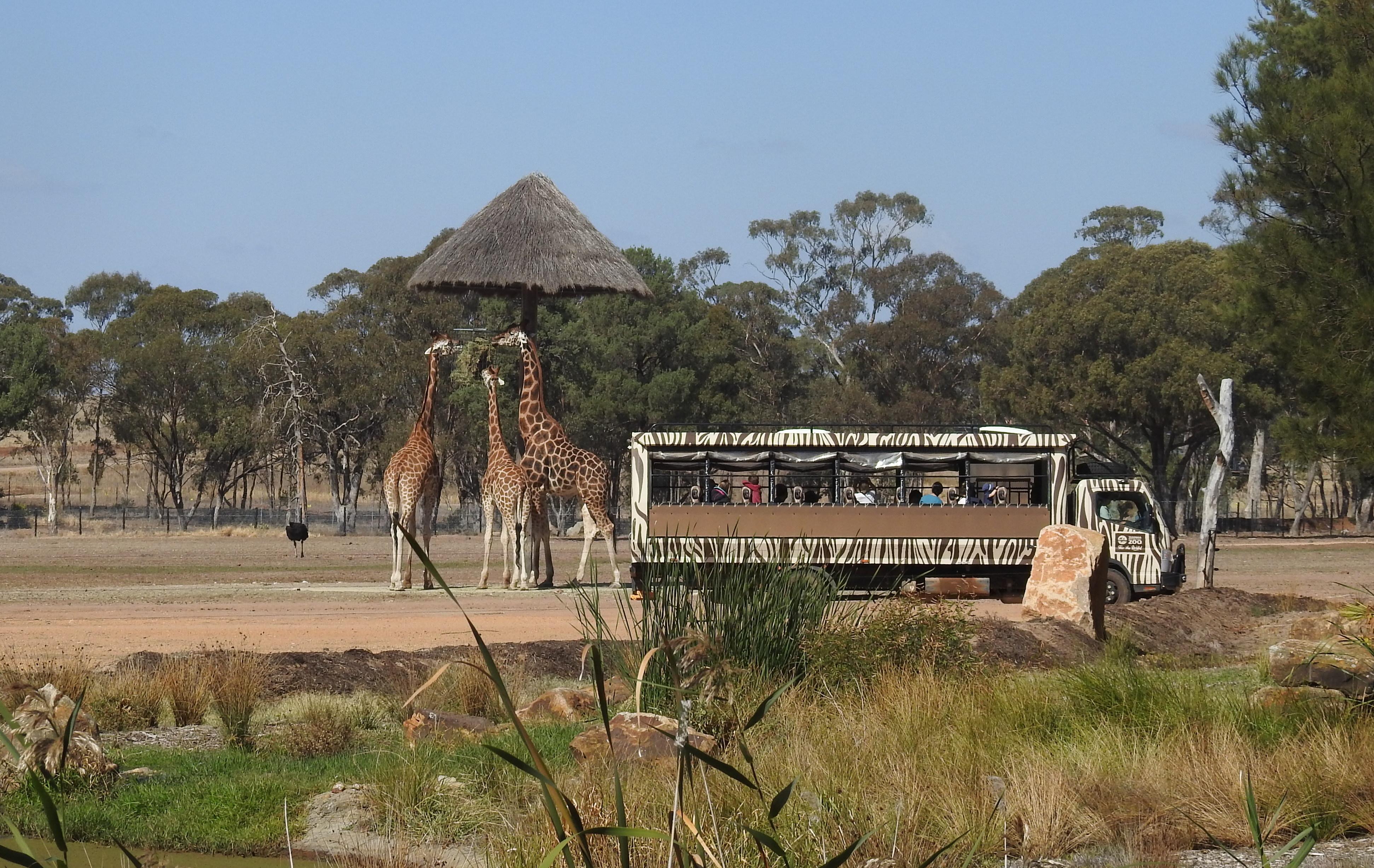 SafariVehicleGiraffesWPZ
