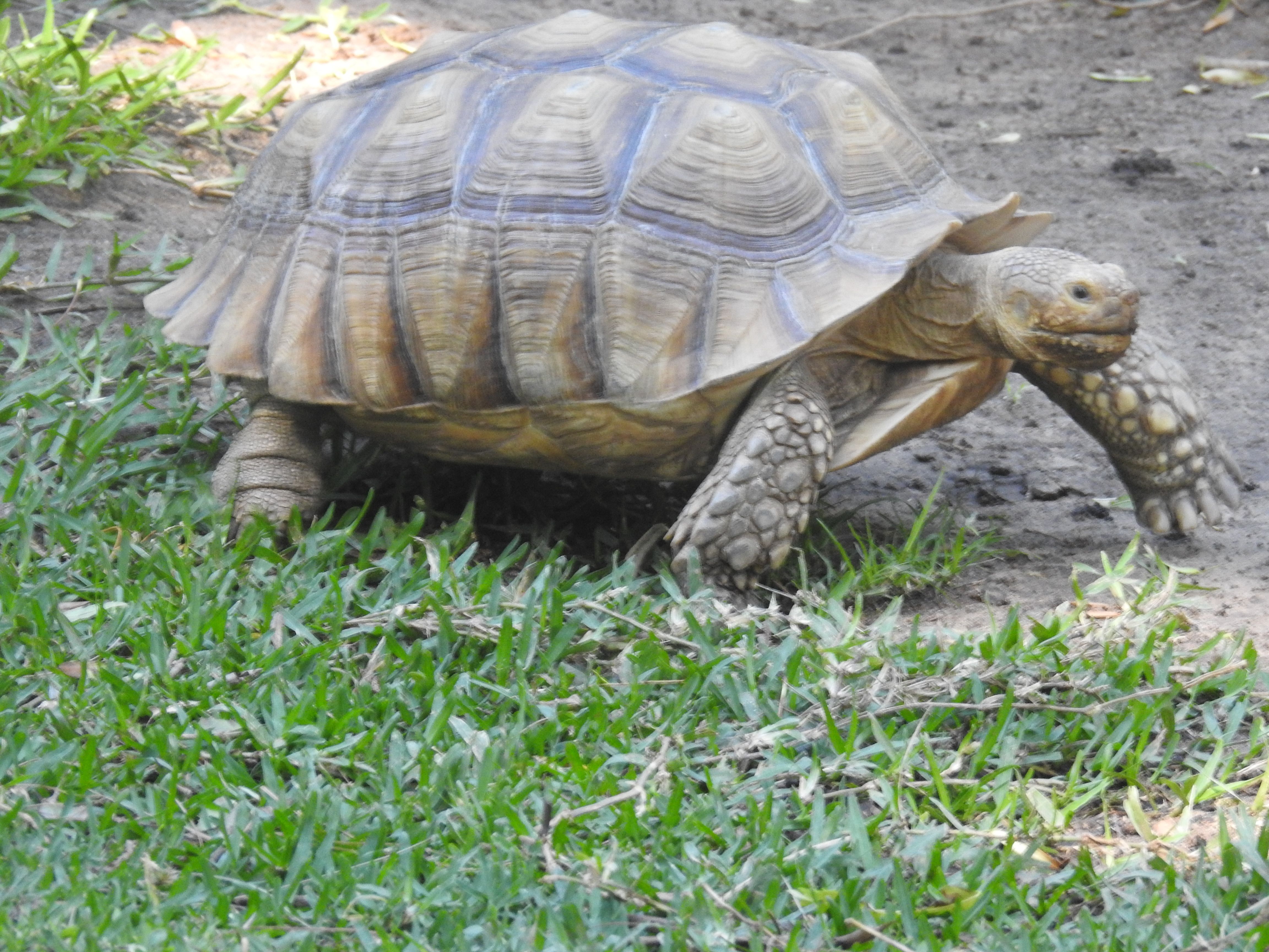 Giant Aldabra Tortoise- vulnerable species from the Seychelles, hatched at the Zoo in 1976