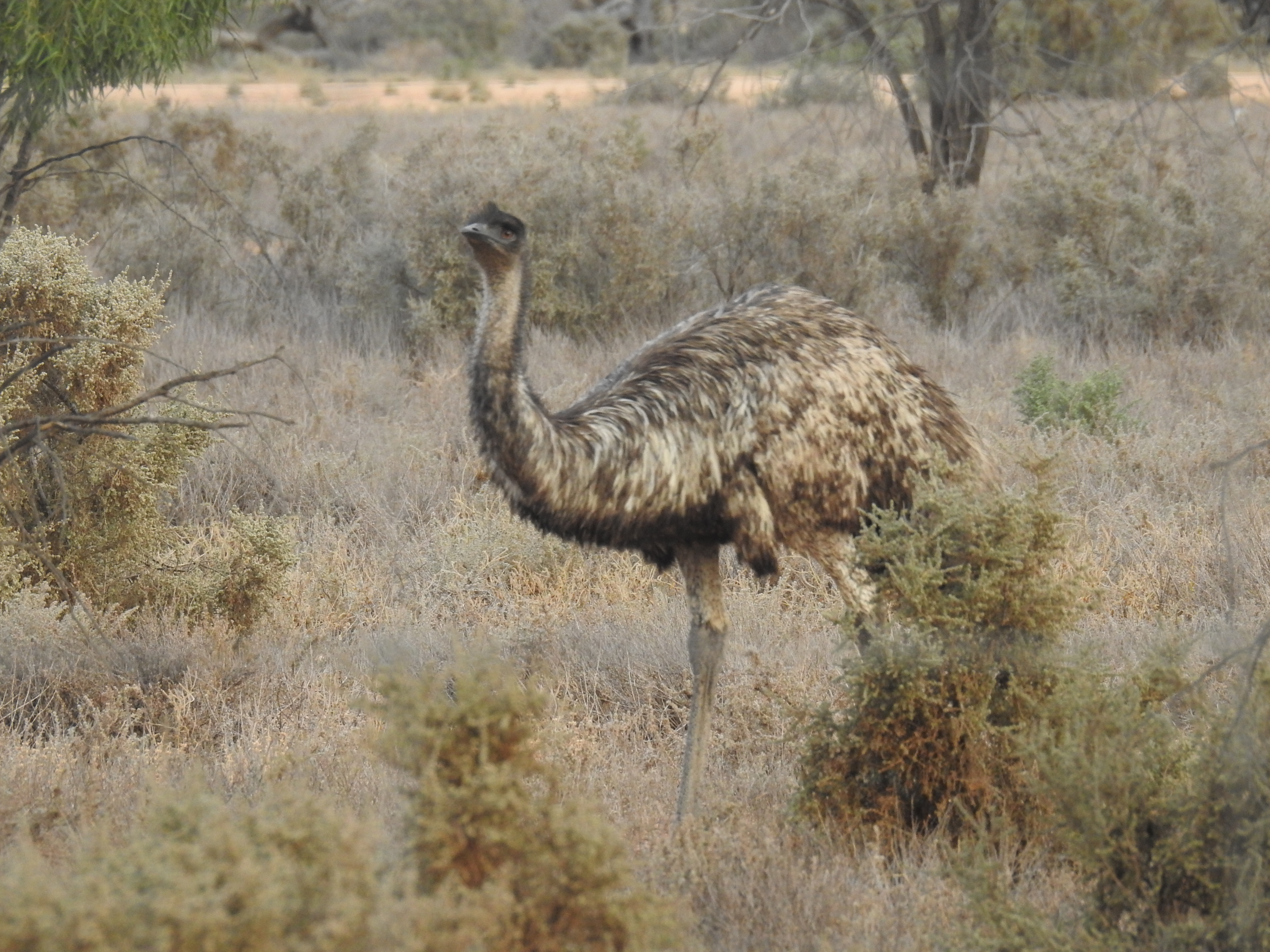 Emu near Lake  Mungo