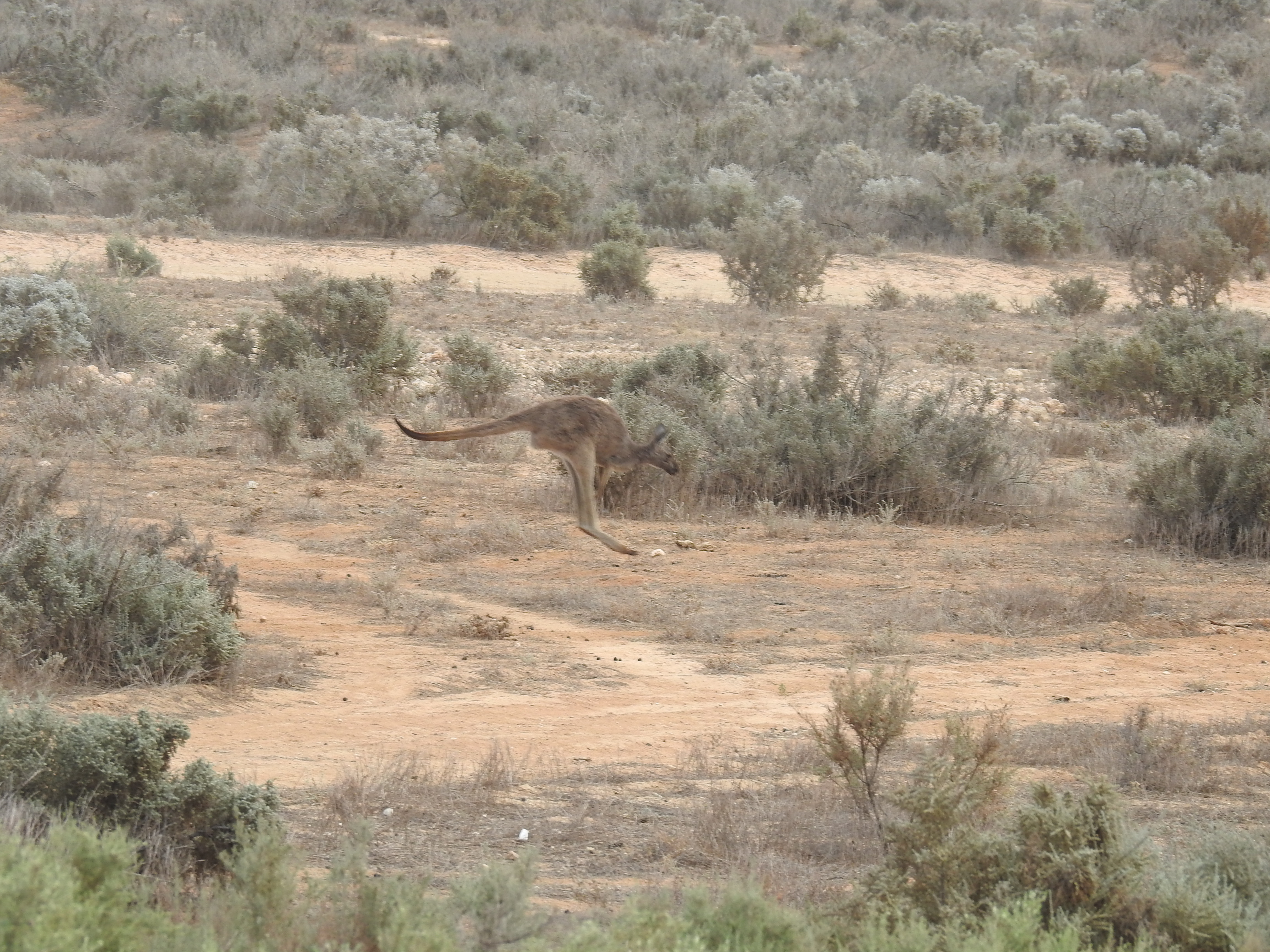 A kangaroo hopes through the saltbush shrubland