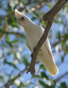 Little corella, and active and playful species
