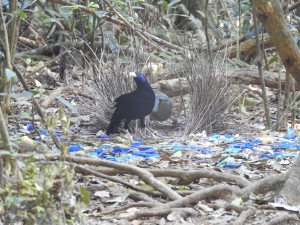 Male satin bowerbird offering a flower to the female: we watched this during a tour to O'Reilly's Rainforest Retreat